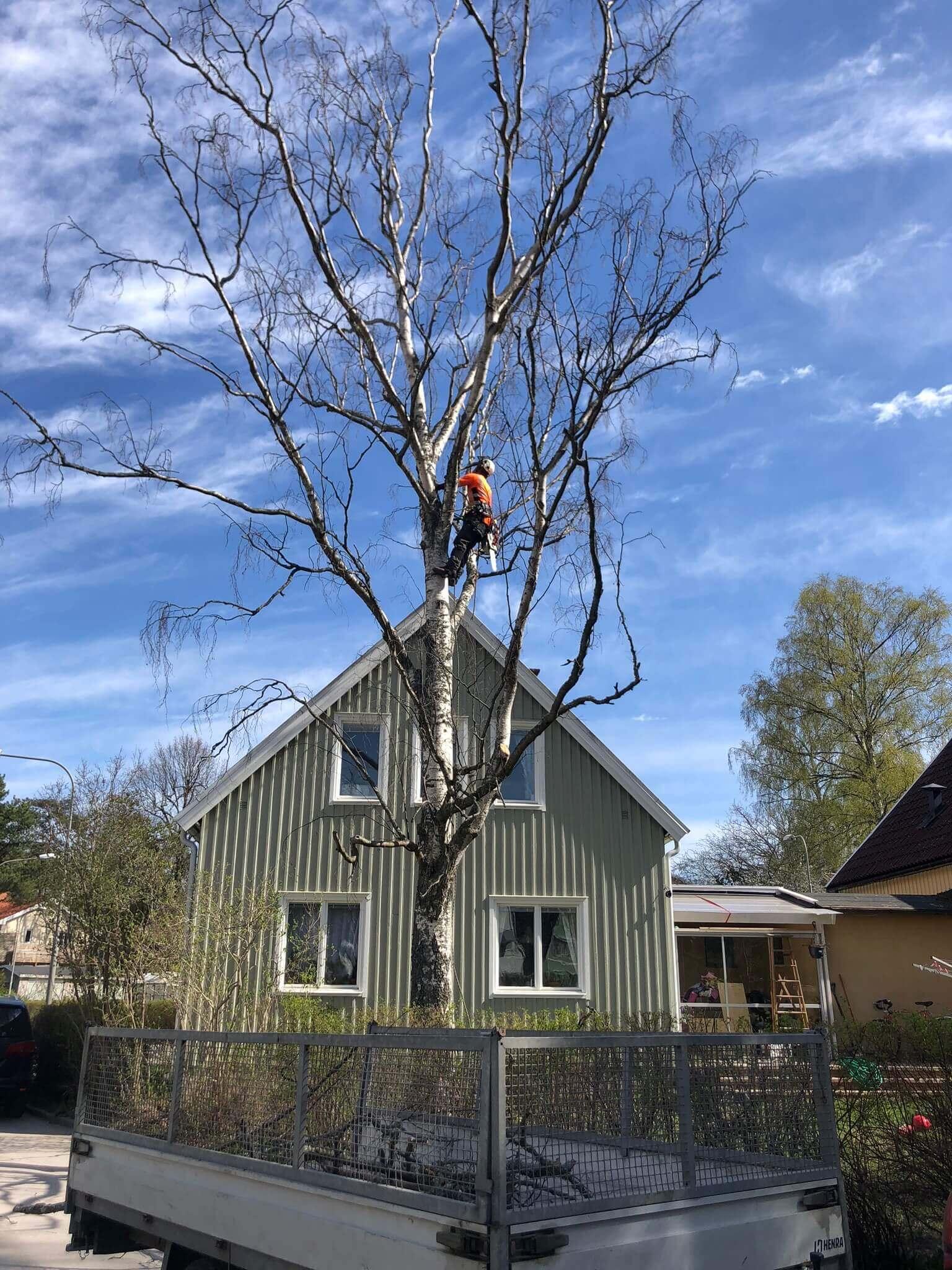 Trädfällning i Djursholm