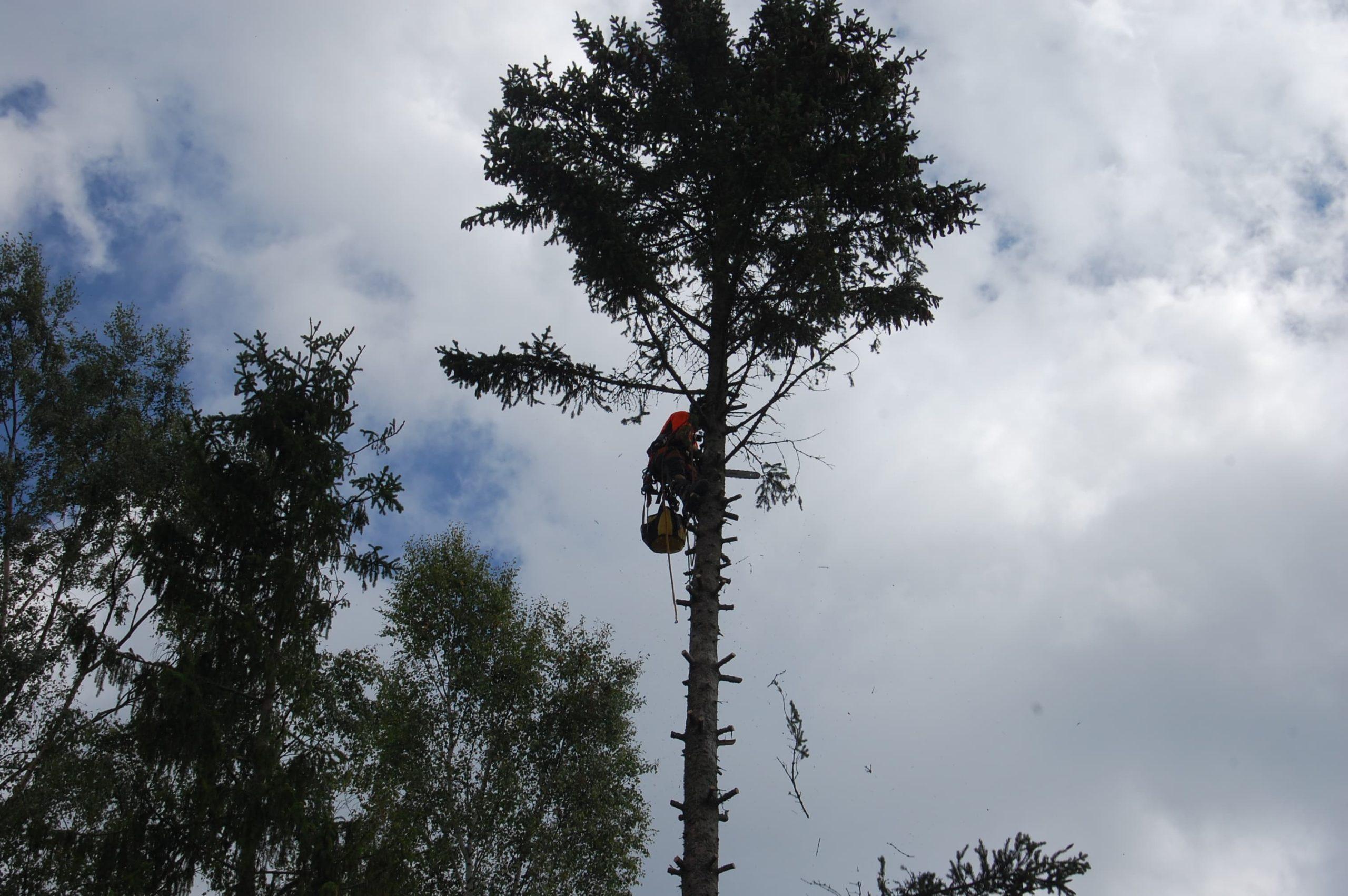 Trädfällning i Salem
