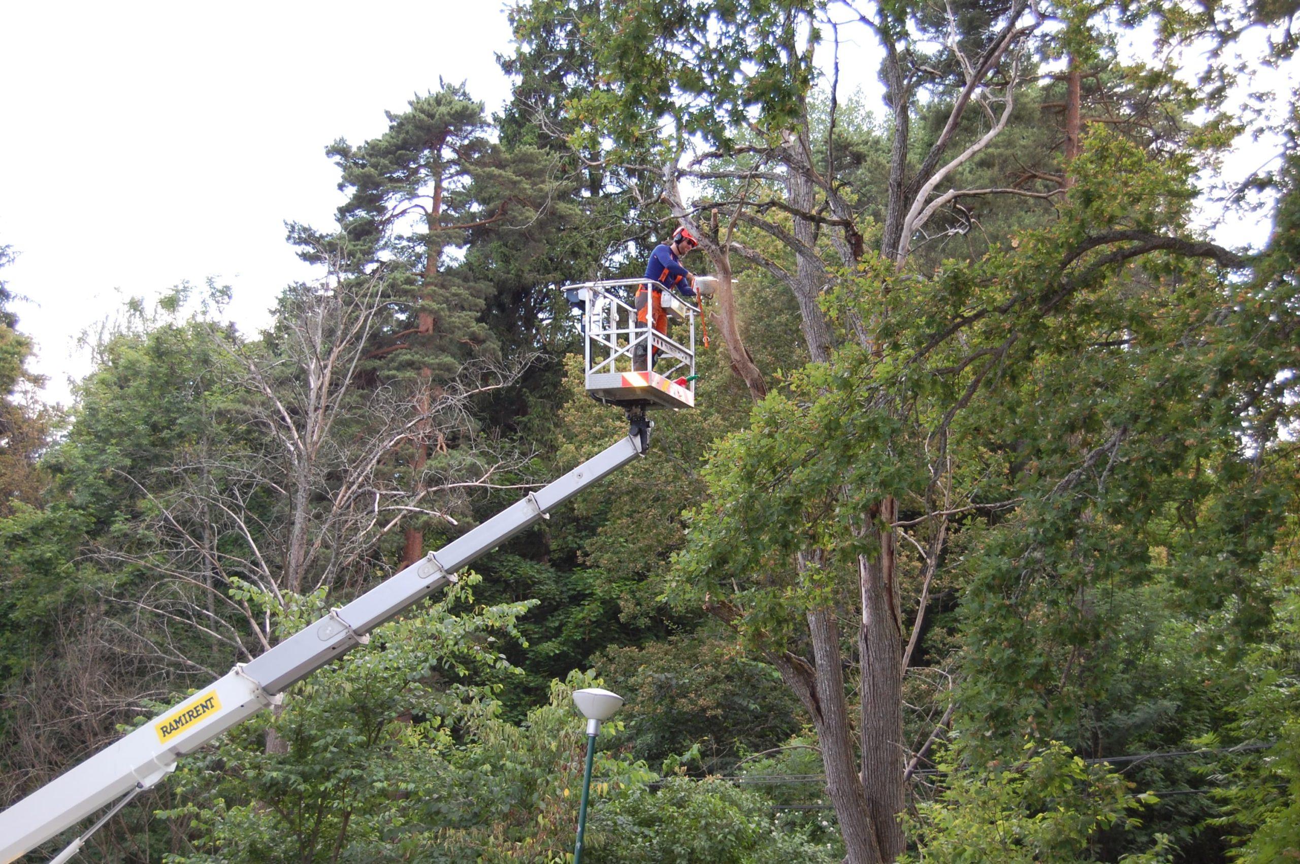 Trädfällning i Sigtuna