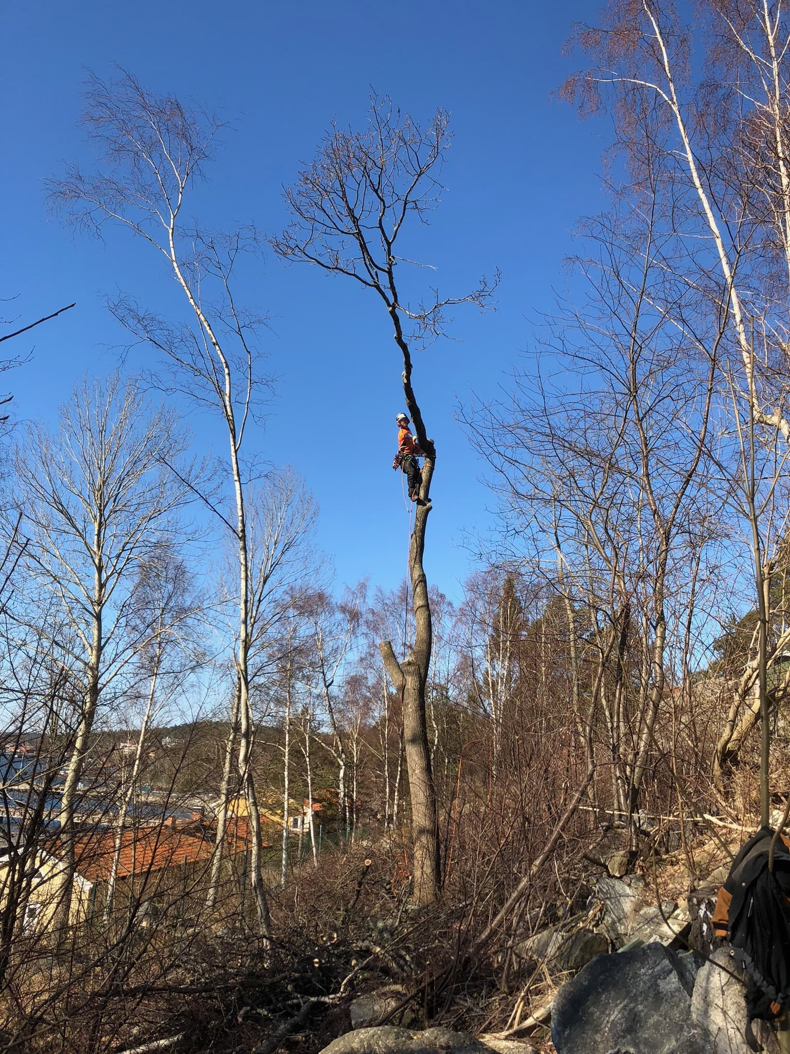Trädfällning i Sundbyberg