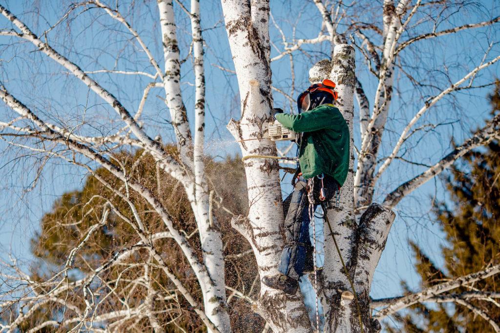 Trädfällning i Bromma